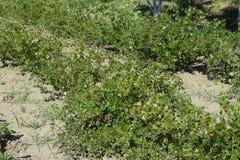 Agresty w ogródzie na łóżku Młodzi liście agrest Fotografia Royalty Free