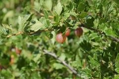 Agresty w ogródzie na łóżku Młodzi liście agrest Zdjęcie Royalty Free