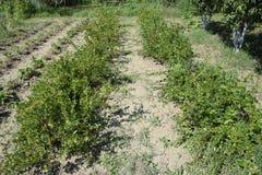 Agresty w ogródzie na łóżku Młodzi liście agrest Obraz Royalty Free
