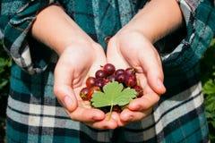 Agresty z liściem w rękach rolnik Zdjęcie Stock