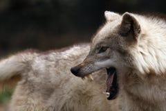 agresyjna natura Fotografia Stock