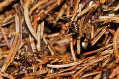 Agresywna Czerwona drewniana mrówka Zdjęcia Royalty Free