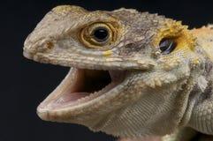 Agresywna jaszczurka Obrazy Royalty Free