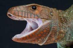 Agresywna jaszczurka, Dracaena guianensis/ Fotografia Stock