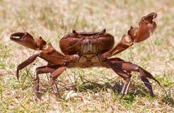 agresywna kraba trawy pozycja Fotografia Royalty Free