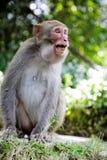 agresywna małpa Obraz Royalty Free