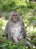 Agresywna małpa Zdjęcie Stock
