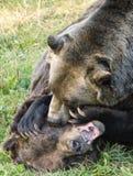 Agresywna niedźwiadkowa walka Zdjęcia Royalty Free