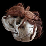 Agresywna tarantula Fotografia Stock