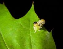 Agresywna zarazy gąsienica Zdjęcia Royalty Free