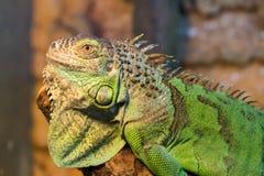 Agresywna zielona iguana z nastroszoną głową Obraz Royalty Free
