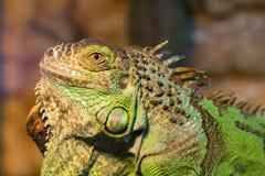 Agresywna zielona iguana z nastroszoną głową Obrazy Stock