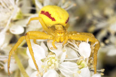 agresywnego kraba agresywny pozyci pająk Obrazy Stock