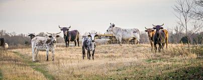 Agresywni byki gapi się przy kamerą przy gospodarstwem rolnym Fotografia Stock