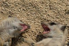 Agresywni gniewni meerkat dzieci pokazuje zęby Obrazy Stock