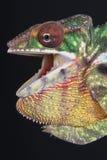 Agresywni kameleonu, Furcifer pardalis/ Zdjęcie Stock