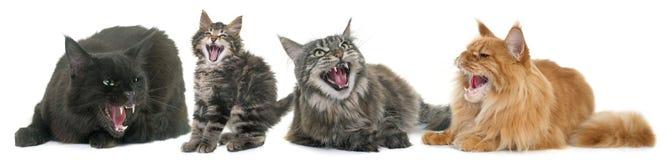 Agresywni koty Zdjęcie Royalty Free