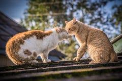 Agresywni koty dzielą terytorium Fotografia Stock