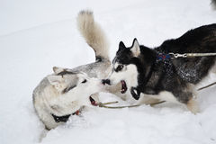 agresywni psy dwa Zdjęcie Stock