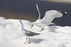 Agresywni seagulls Zdjęcia Royalty Free