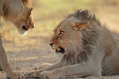 Agresywny Afrykański lew Zdjęcia Royalty Free