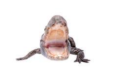 agresywny aligator Obraz Royalty Free