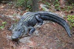 agresywny aligator Obraz Stock