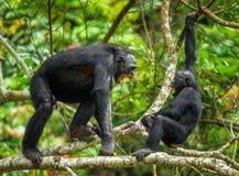 Agresywny Bonobo Zdjęcia Royalty Free