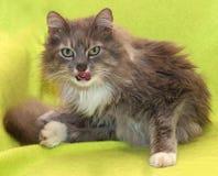 Agresywny brudny puszysty kot liże jego wargi Zdjęcia Stock