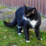 agresywny czarny kot Fotografia Stock