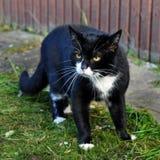 agresywny czarny kot Zdjęcia Royalty Free