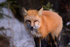 Agresywny Czerwony Fox Pokazuje zęby Obrazy Stock