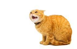 Agresywny czerwony kot Obraz Stock
