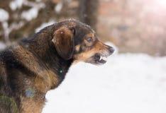 Agresywny, gniewny pies, Obraz Stock