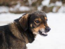 Agresywny, gniewny pies, Zdjęcie Royalty Free