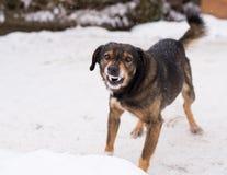 Agresywny, gniewny pies, Obrazy Royalty Free