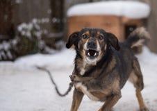 Agresywny, gniewny pies, Obrazy Stock