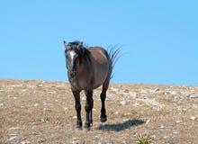 Agresywny Grulla barwił zespołu ogiera na Sykes grani w Pryor górach w Montana †'Wyoming usa Fotografia Stock