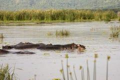 Agresywny hipopotam w basenie, Jeziorny Manyara, Tanzania Fotografia Royalty Free