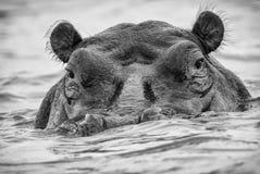 Agresywny hipopotama kagana klejenie z jeziora Obrazy Royalty Free