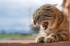 agresywny kot Obraz Royalty Free