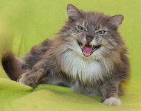 Agresywny kot syczy na zieleni Fotografia Stock
