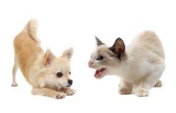 agresywny kota chihuahua szczeniak Zdjęcia Stock