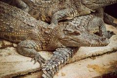 agresywny krokodyl Zdjęcia Royalty Free