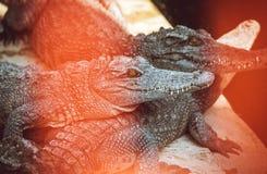 agresywny krokodyl Obraz Royalty Free
