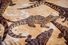 agresywny krokodyl Zdjęcie Stock