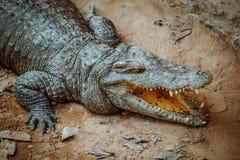 agresywny krokodyl Obrazy Royalty Free