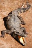 agresywny krokodyl Fotografia Stock