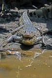 Agresywny krokodyl w Tortuguero, Costa Rica - Zdjęcia Stock