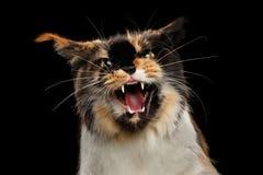 Agresywny ksyka Maine Coon kot, Patrzeje w kamery Odosobnionym czerni Zdjęcie Royalty Free